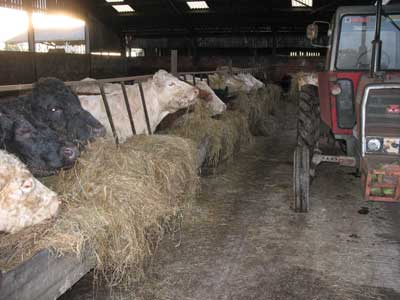 Cattle eating silage, fed using MF 575 tractor.